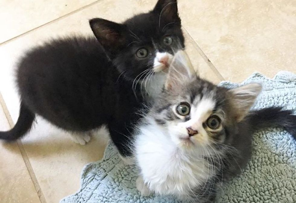 best friends, tuxedo kitten, tabby kitten