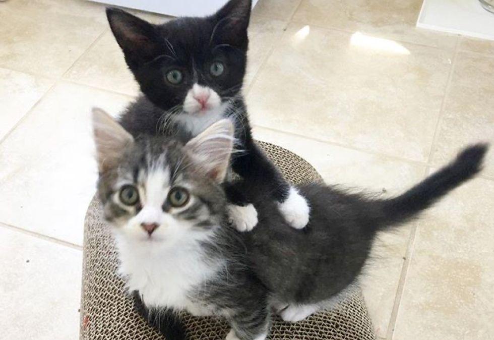 best friends, cuddles, tuxedo kitten