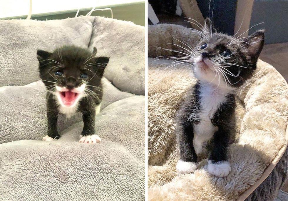 tuxedo kitten, cute, tiny