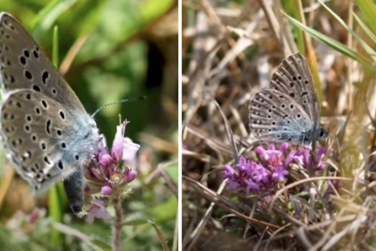 U.K. conservationists have successfully brought back butterflies declared extinct in 1979