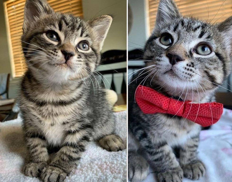 tabby cat, cute, bowtie