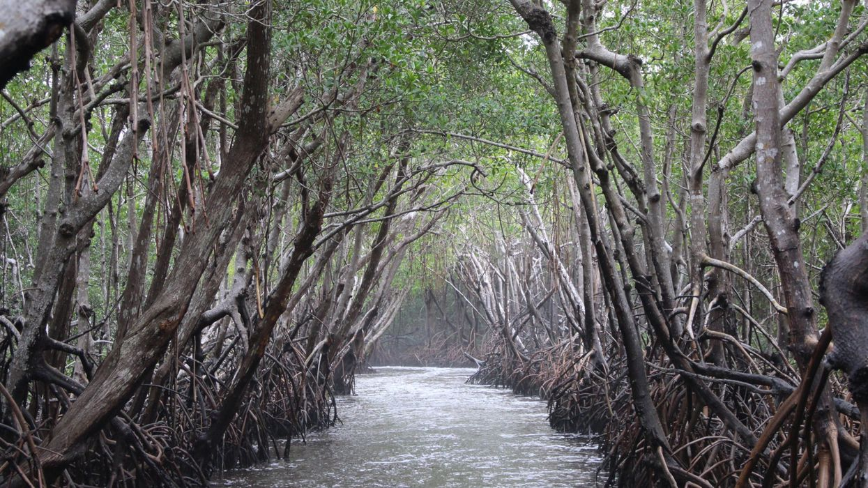 Mangroves Could Help Save Us From Climate Change. Climate Change Is Killing Mangroves.