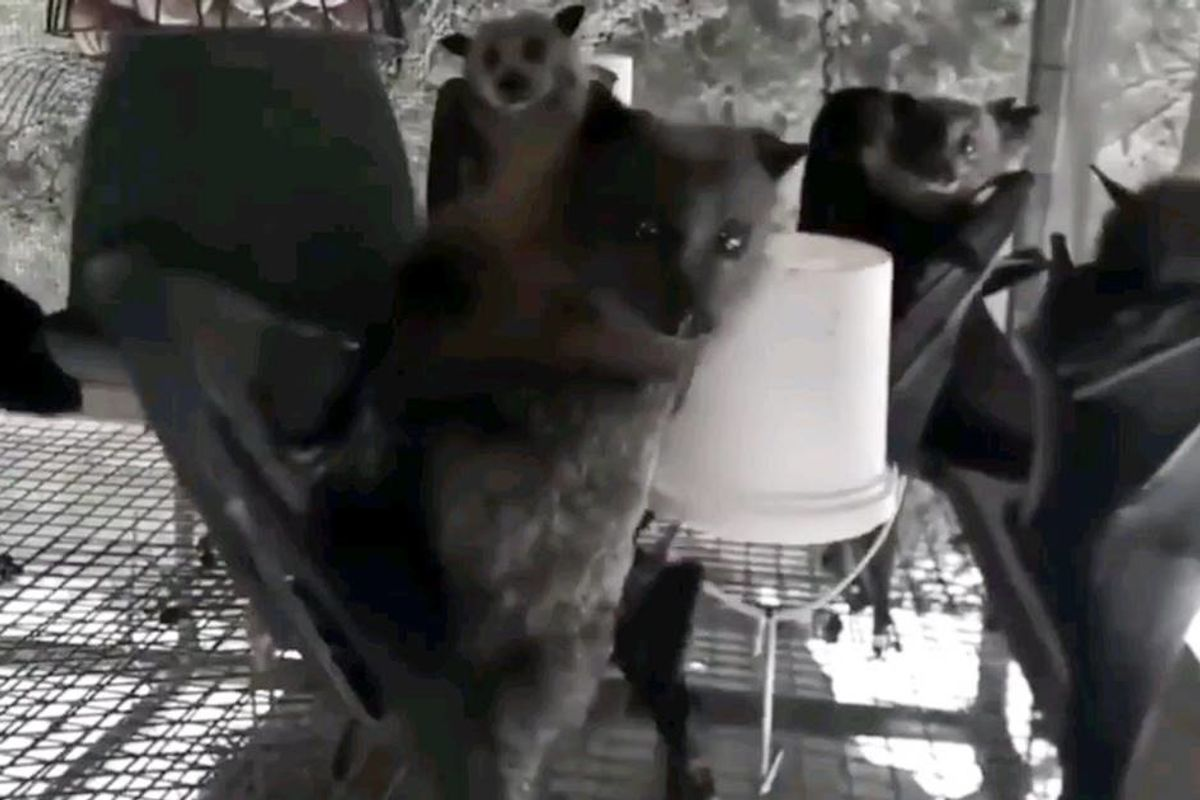 Hanging bats filmed upside-down look like they're all partying in a Goth night club