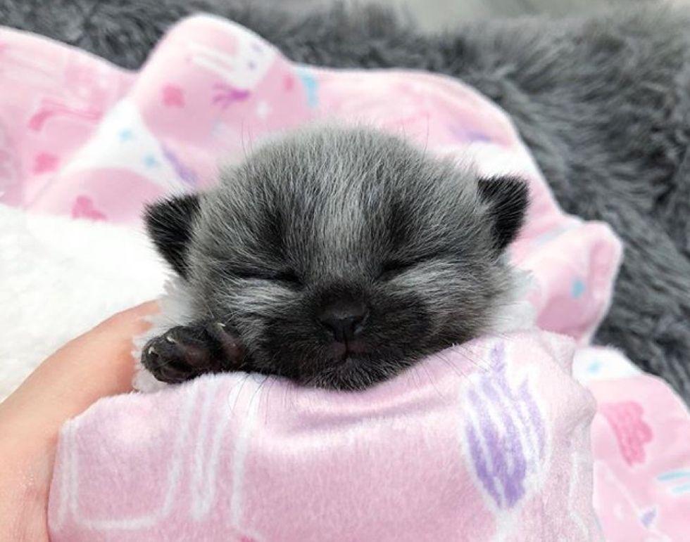 fever coat, cute kitten purrito