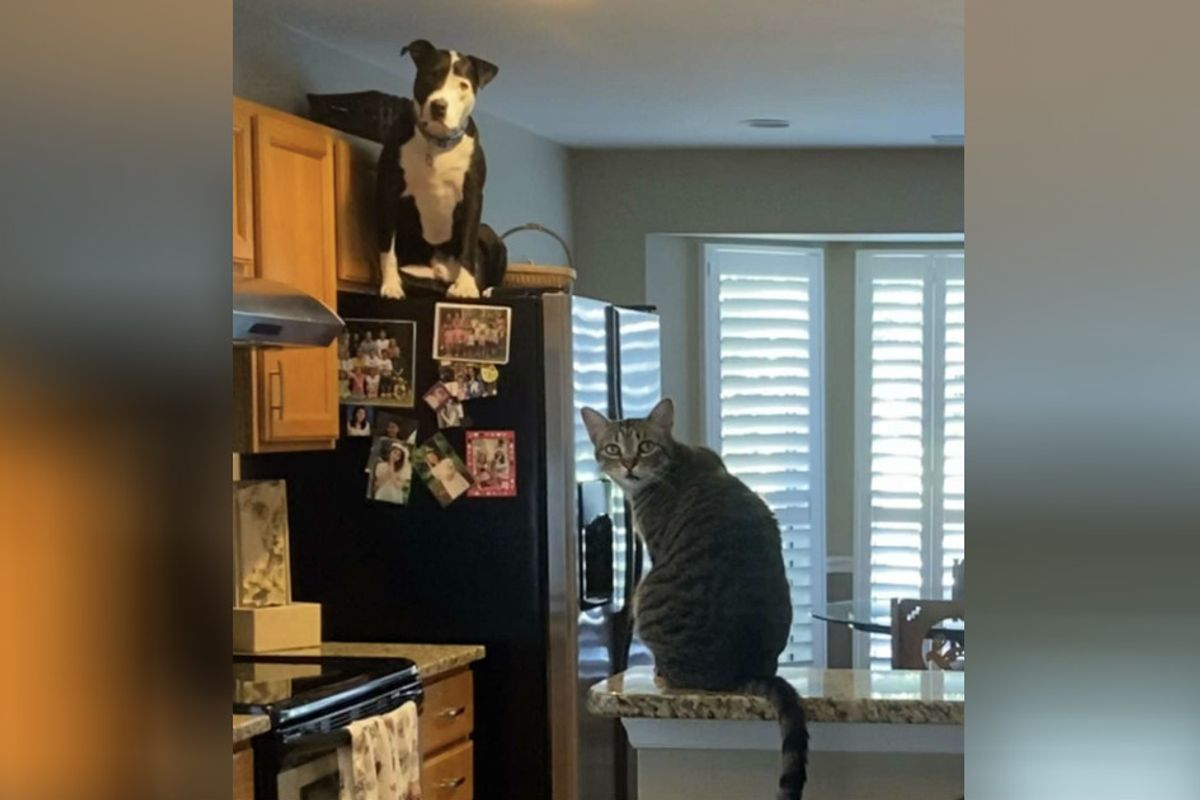 A rescue pit bull is so convinced he's a cat he even climbs up on the fridge