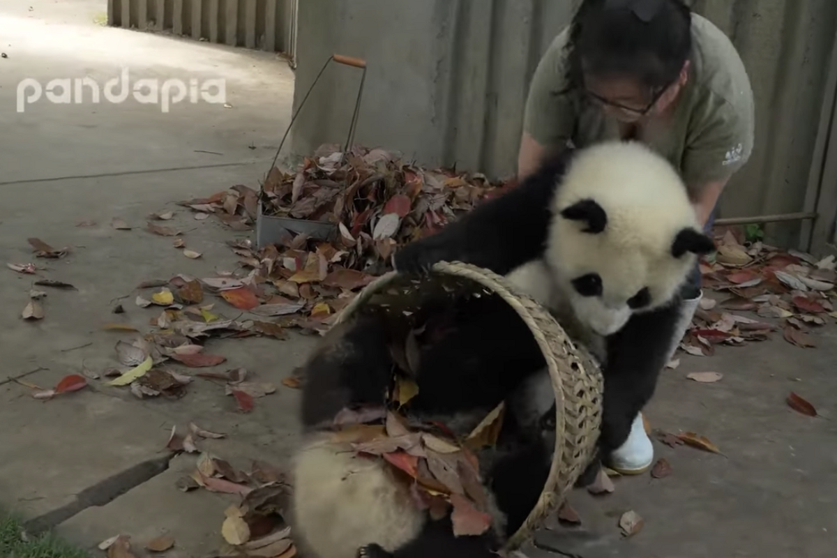 Zoo worker just wanted to rake her leaves but these baby pandas had other ideas