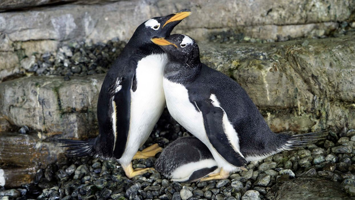 2 Penguin Moms Welcome a Baby in First for Spanish Aquarium