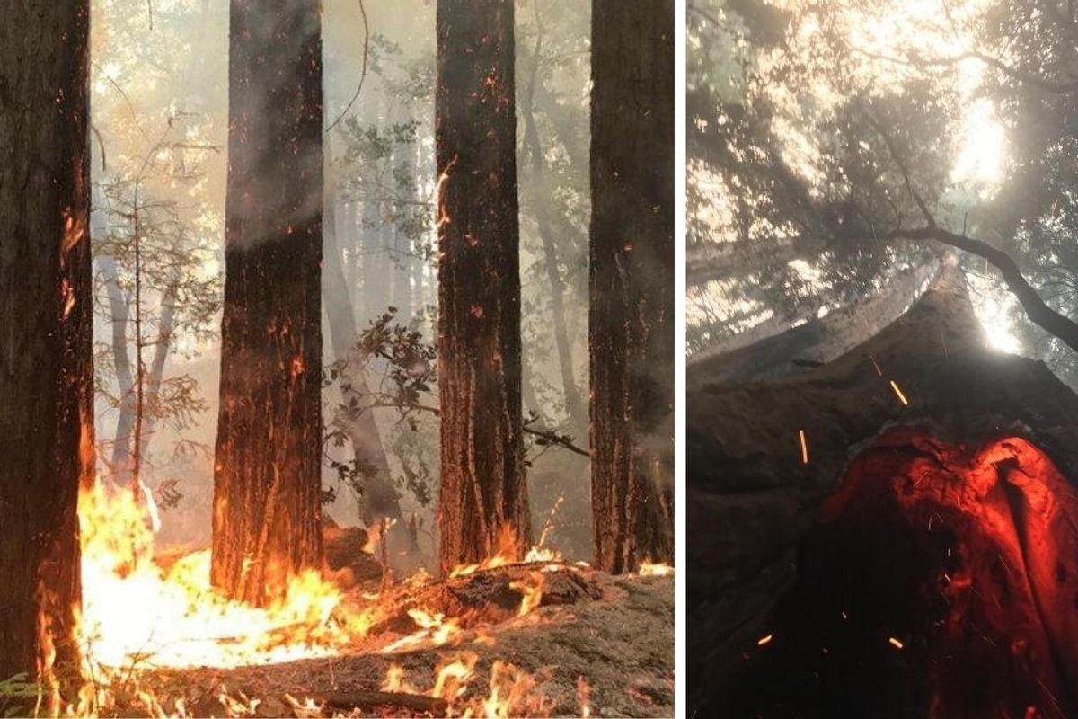 2,000-year-old redwoods survive devastating wildfires in California