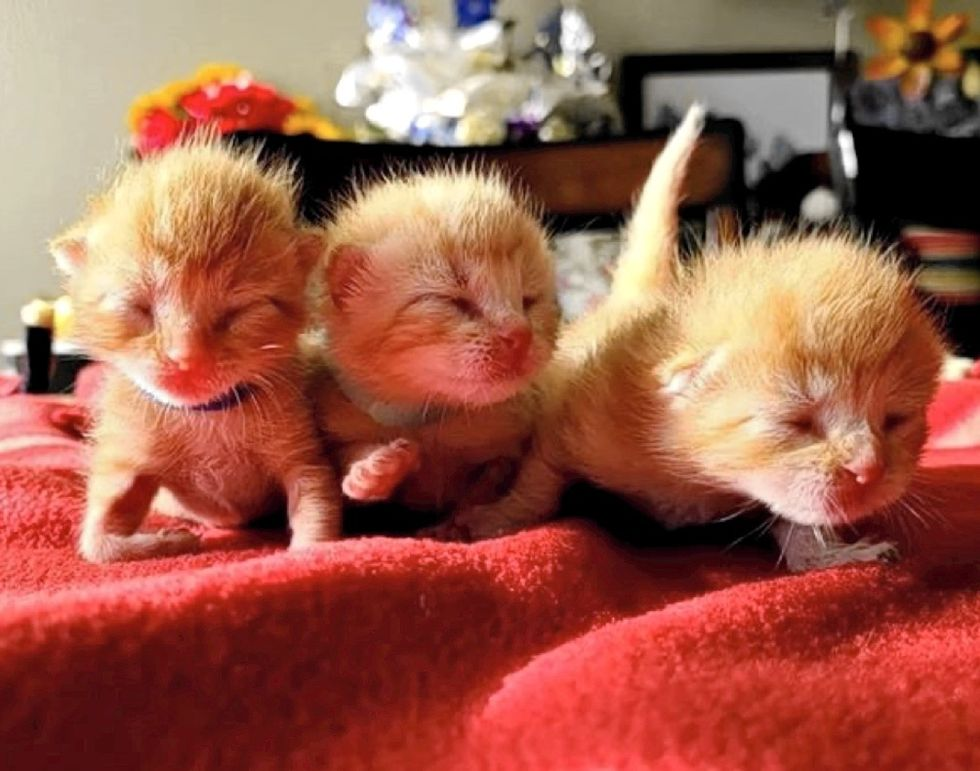 newborn kittens, ginger cats, sisters