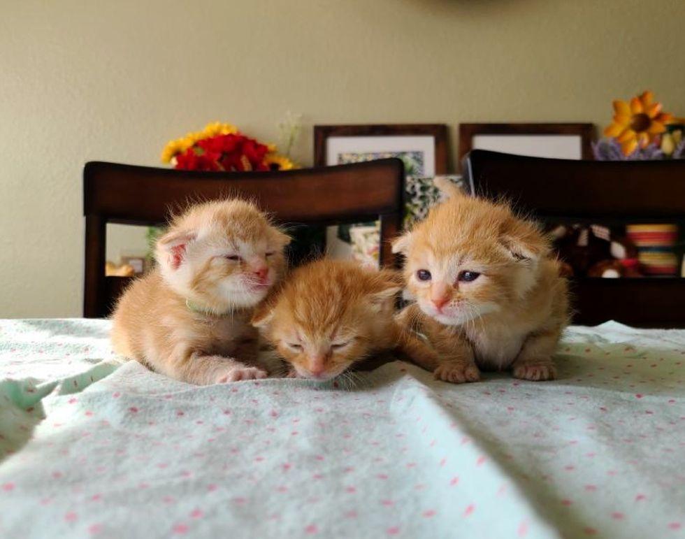 ginger kittens, triplets