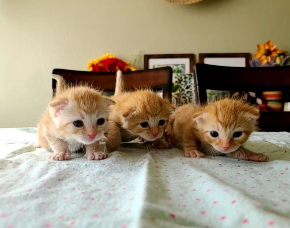 kittens, cute, waddling, ginger