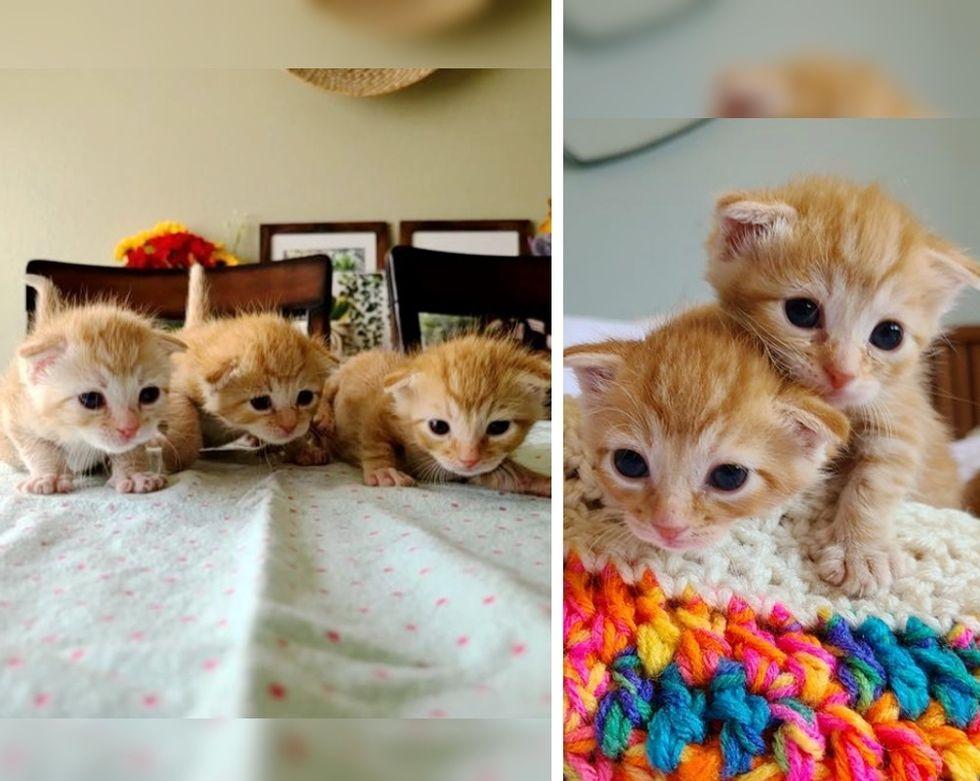 kittens, ginger, triplets