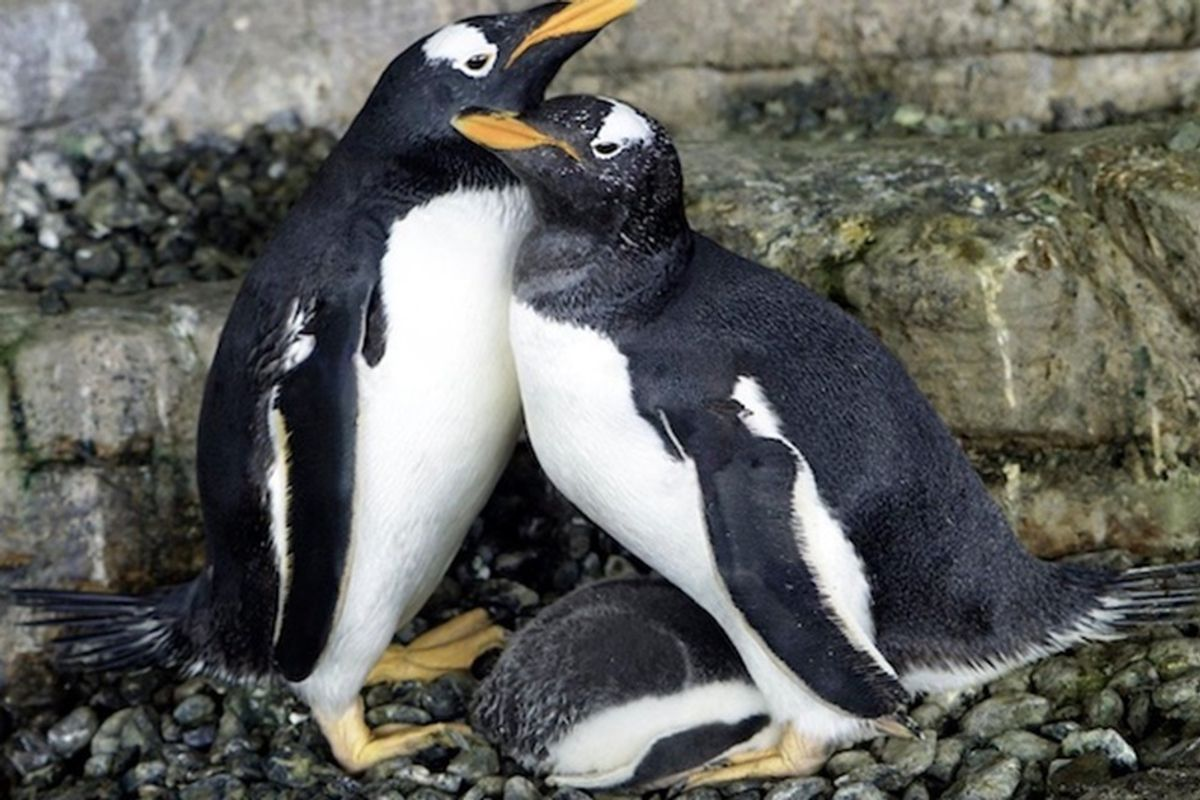 Same-sex penguin parents Electra and Viola hatch a chick together and it's just adorable.