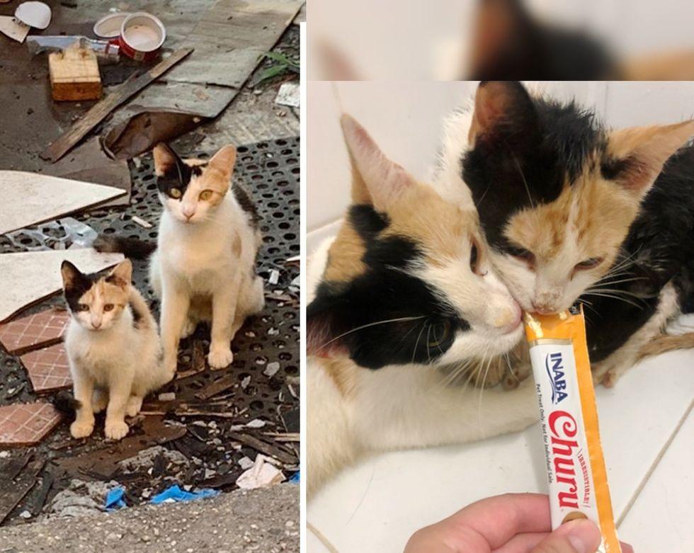 calico cats, mini me, kitten
