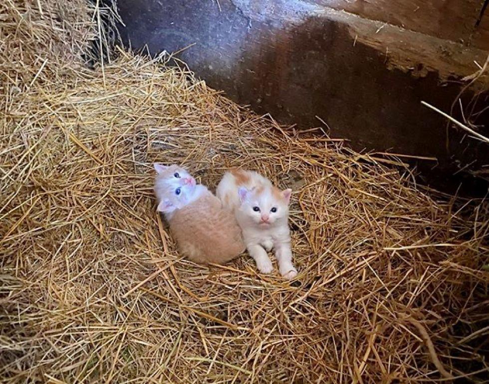 kittens, barn, ginger cats