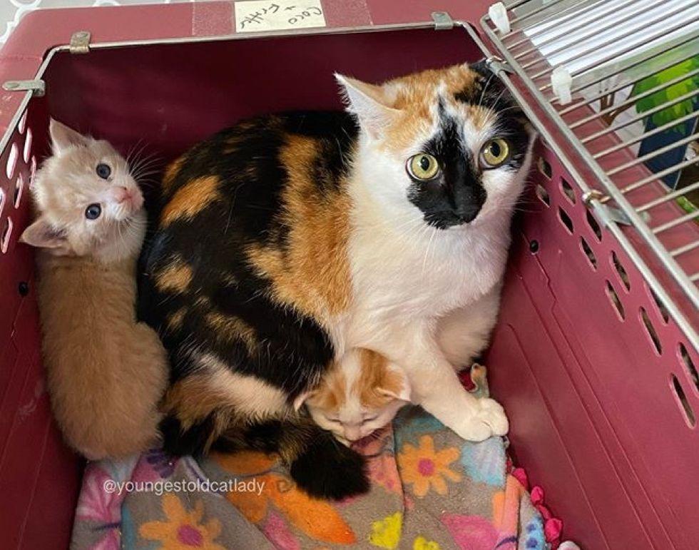 cat mom, kittens, calico
