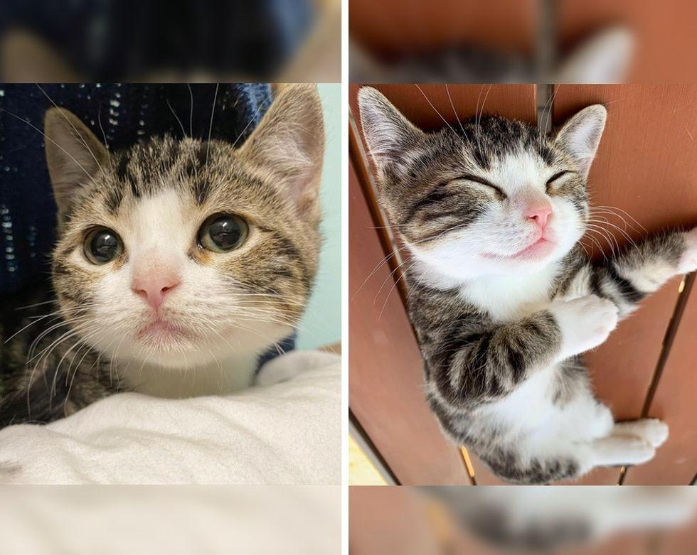 dwarf kitten, tabby cat
