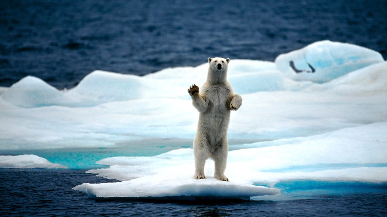 Polar Bears Could Be Nearly Gone by 2100, Study Finds