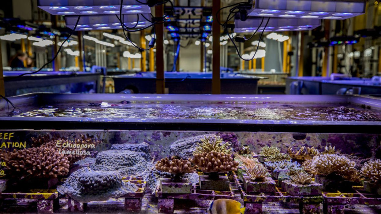 Lab-Grown Corals May Prevent Reef Bleaching