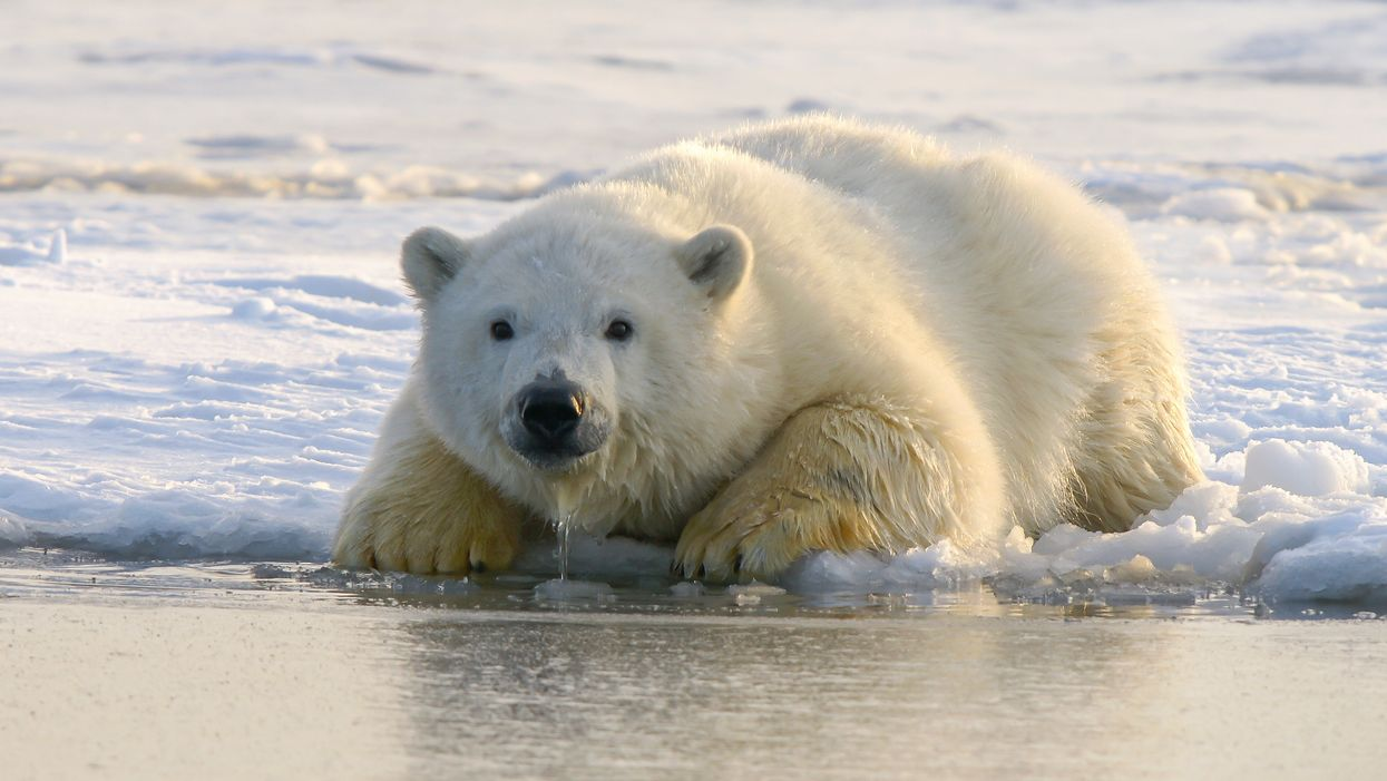 Polar bears could be extinct by 2100, says heartbreaking new study
