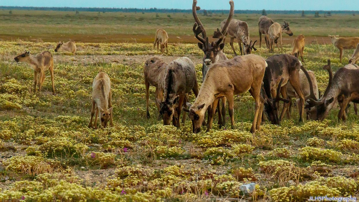 What's Really Behind Dwindling Numbers of Woodland Caribou?