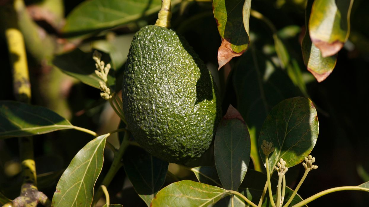 How the toxodon led to the survival of avocados