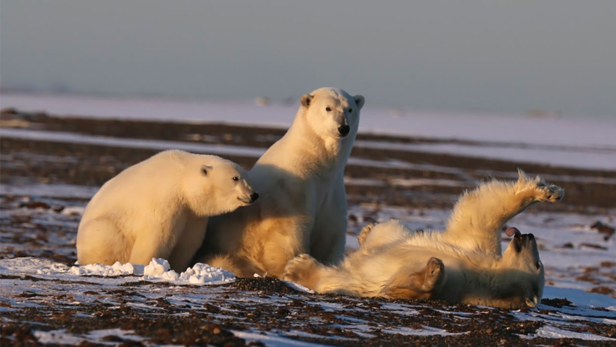 Climate Change, Oil Development Threaten Alaska's Polar Bears