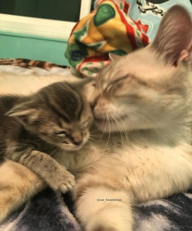 cute, kitten, cat, kiss, cuddle