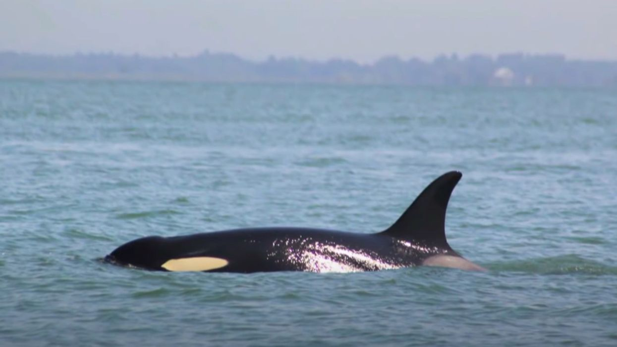 Orca Mother Who Carried Dead Calf 17 Days Is Pregnant Again
