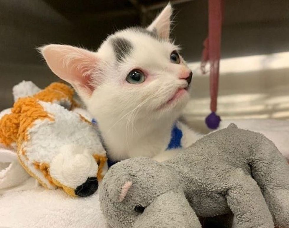 Pinocchio kitten, special needs