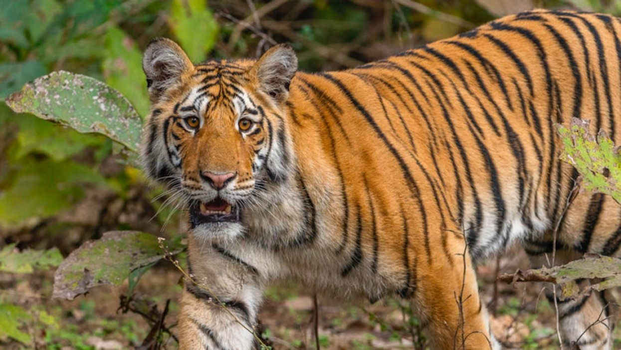 Could Wild Tiger Populations Double by 2022?