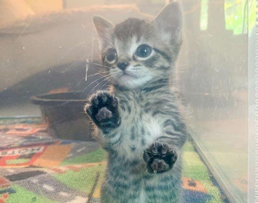 paws, tabby, kitten paw print