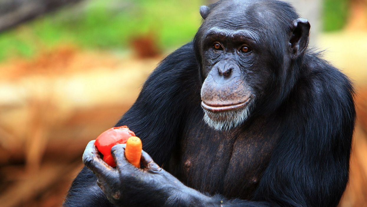 Chimpanzee holding food