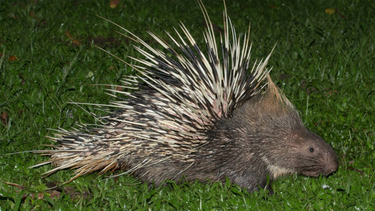 Porcupines Face a Poaching Crisis — and It's All Because of What's in Their Stomachs