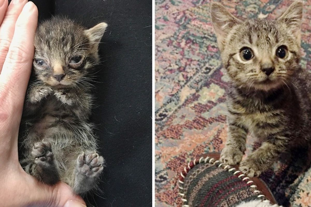 Palm-sized Kitten Gets Help In the Nick of Time and Begins to Grow and Thrive