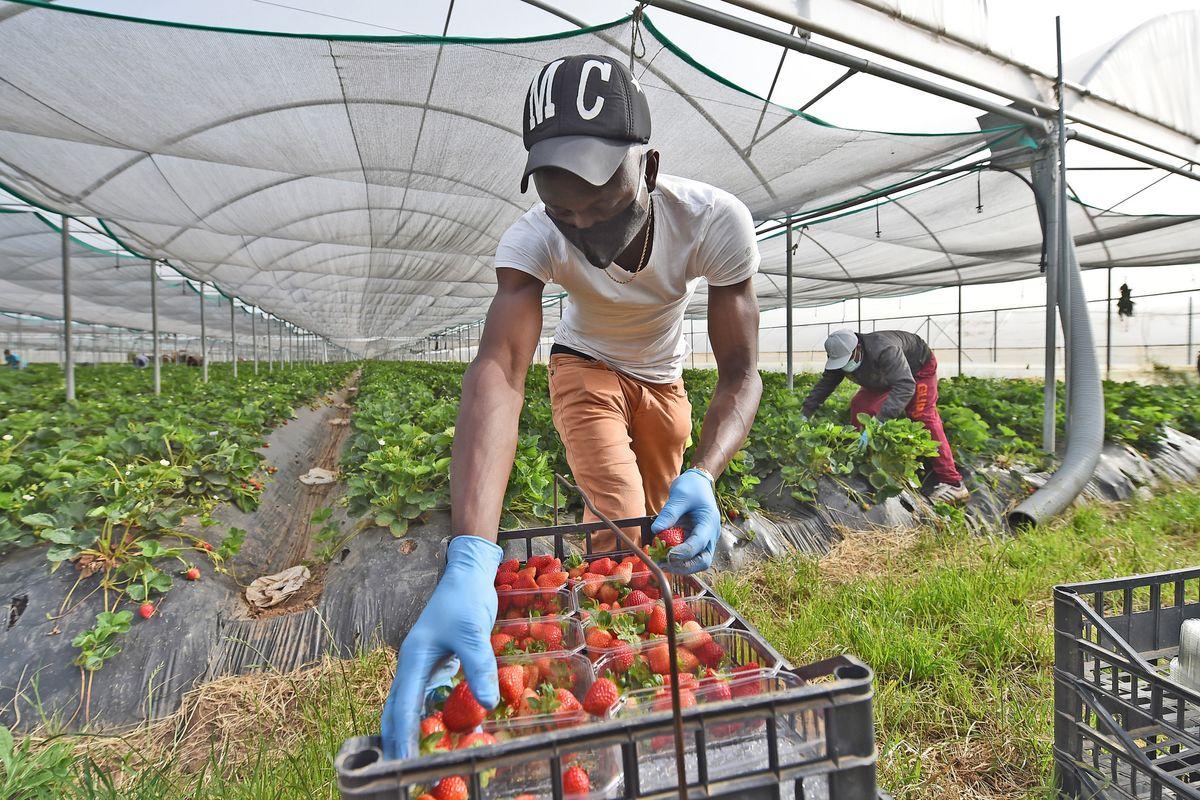 La sanatoria voluta dalla Bellanova lascia l'agricoltura senza lavoratori