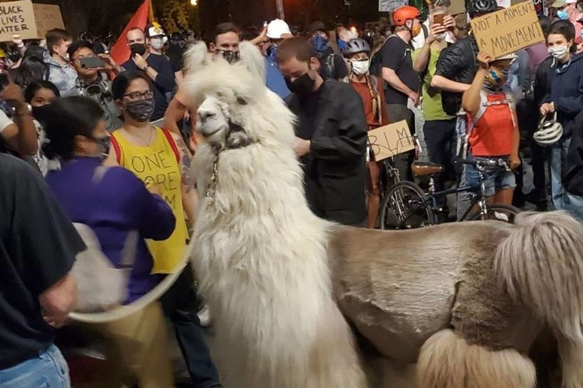 Caesar the 'no drama' therapy llama has been keeping protesters and police calm in Portland