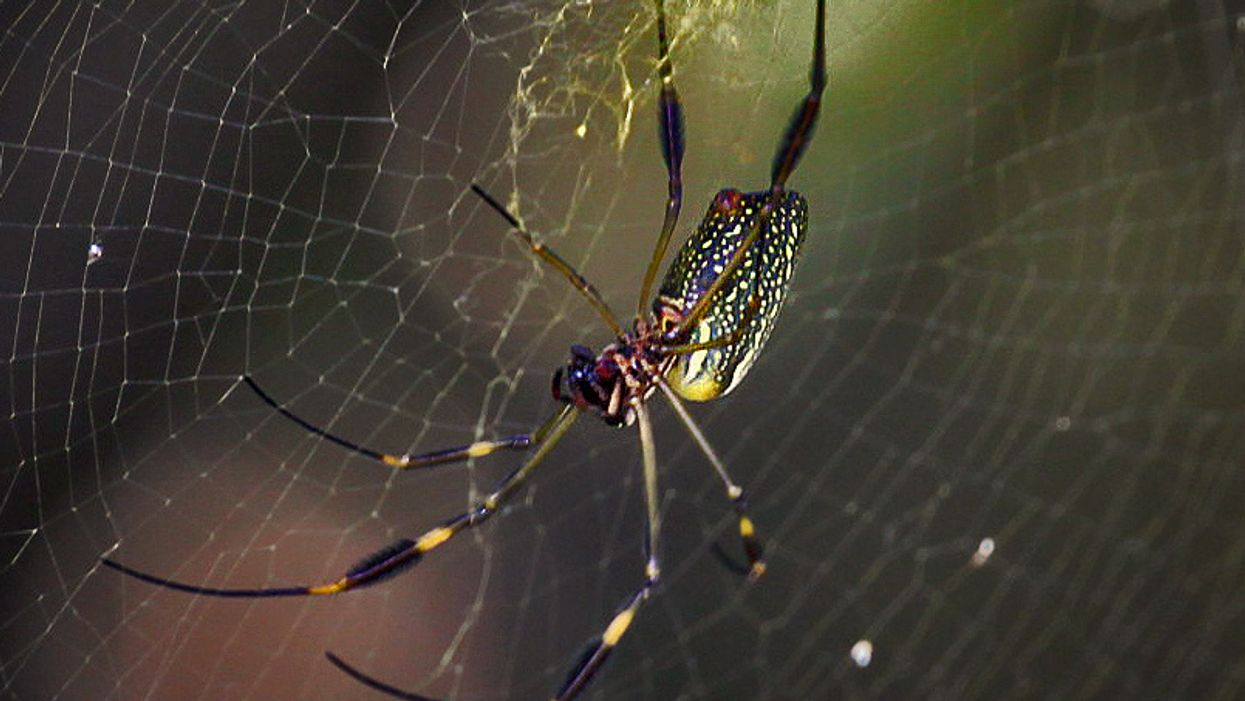 Spiders lace webs in toxins to paralyze prey