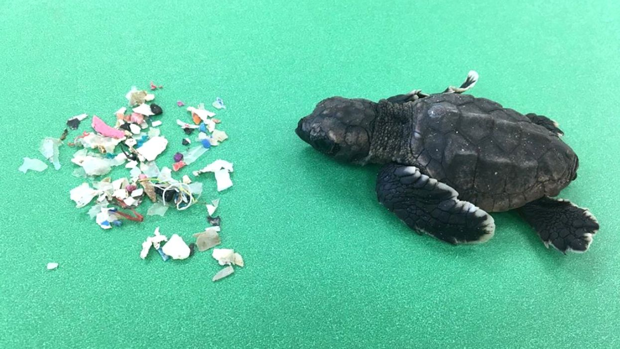 Newly Hatched Florida Sea Turtles Are Consuming Dangerous Quantities of Floating Plastic