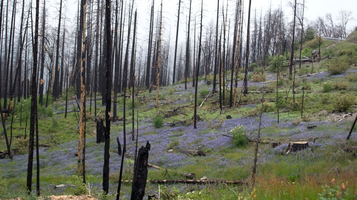 Western Wildfires Are a Boon for These Native Species