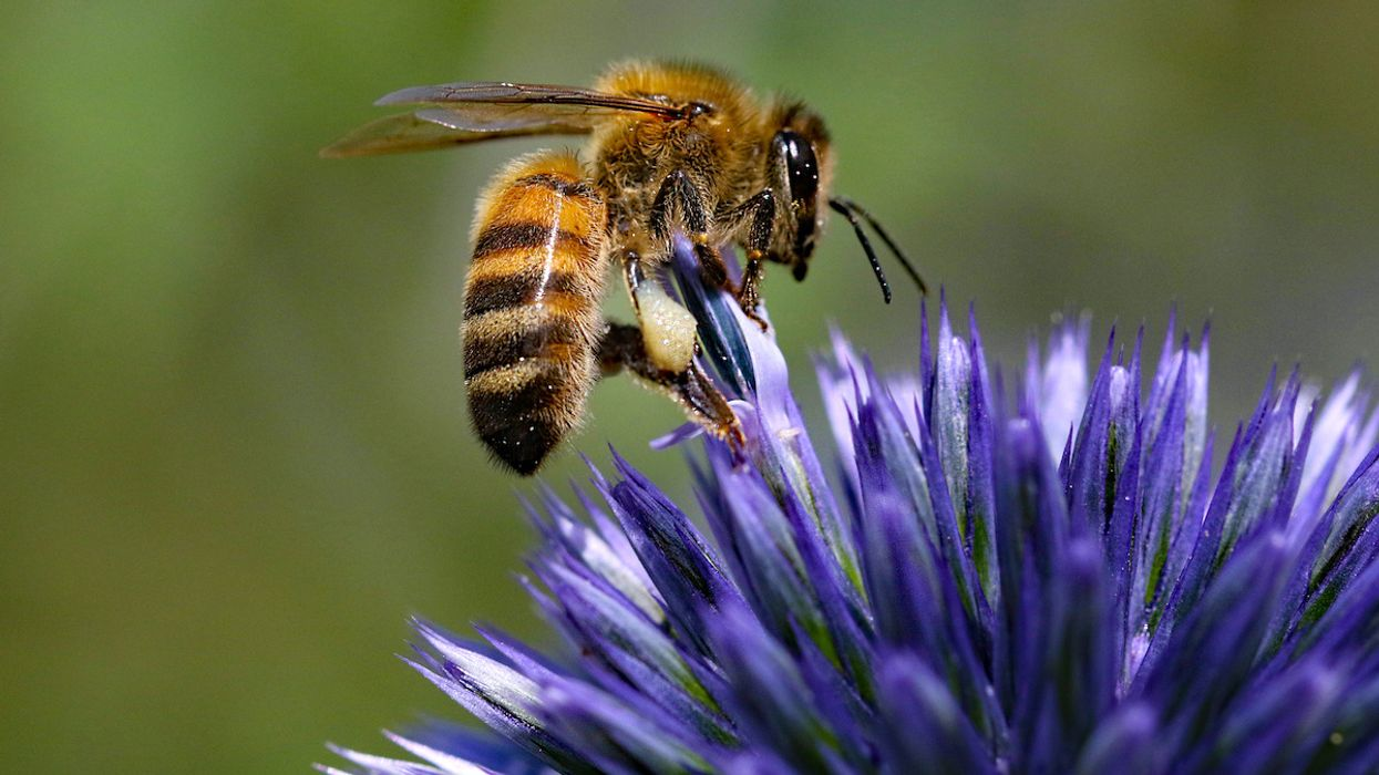 Honeybee Venom Kills Aggressive Breast Cancer Cells, Study Shows