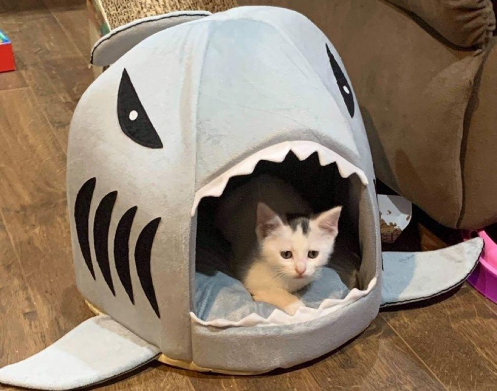 concerned kitten, shark bed, cute cat