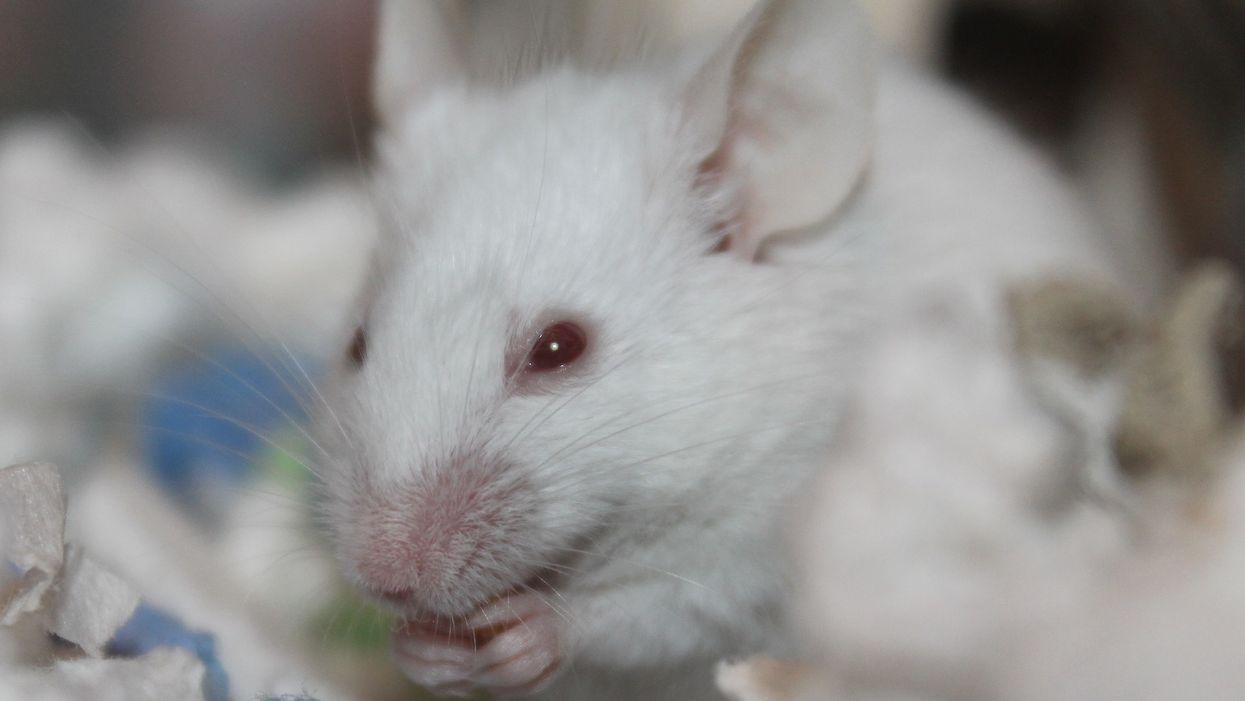 Study:  Mighty mice  stayed strong in space with gene treatment