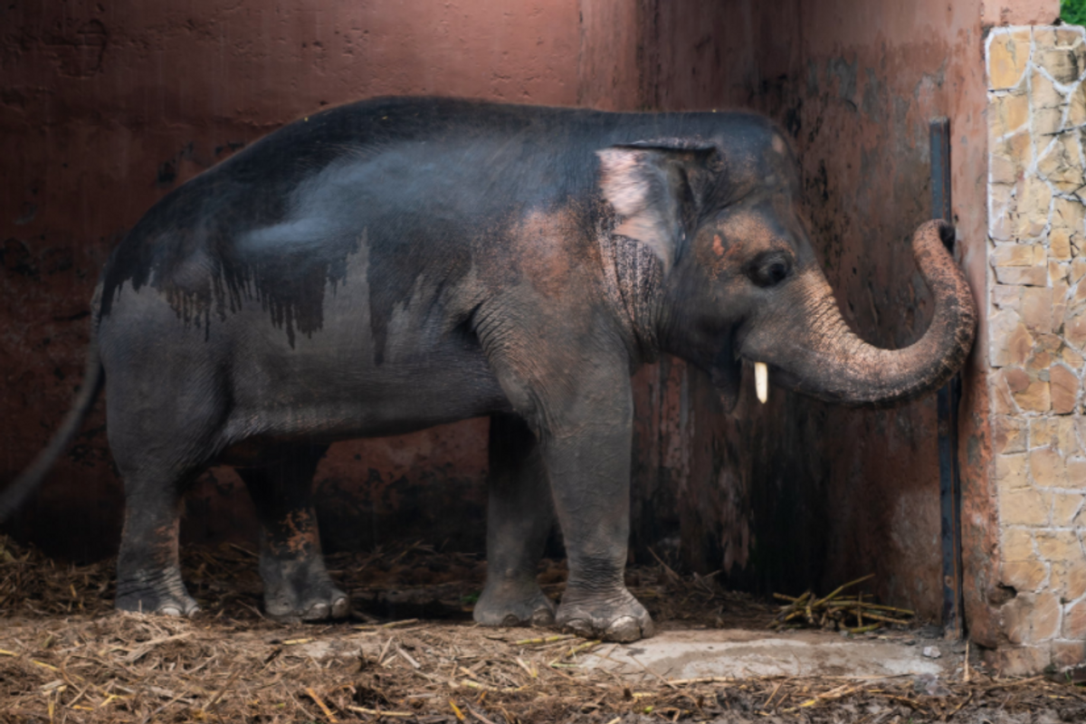 Kaavan, the 'world's loneliest elephant,' is finally being released from captivity