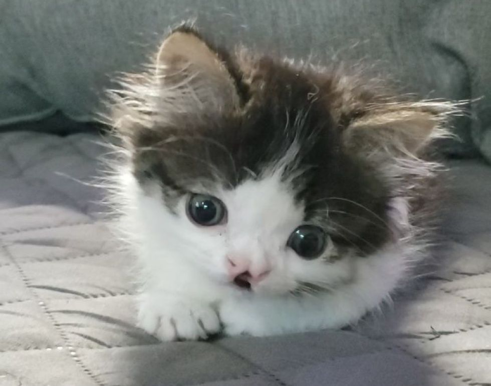 cute kitten, cleft lip
