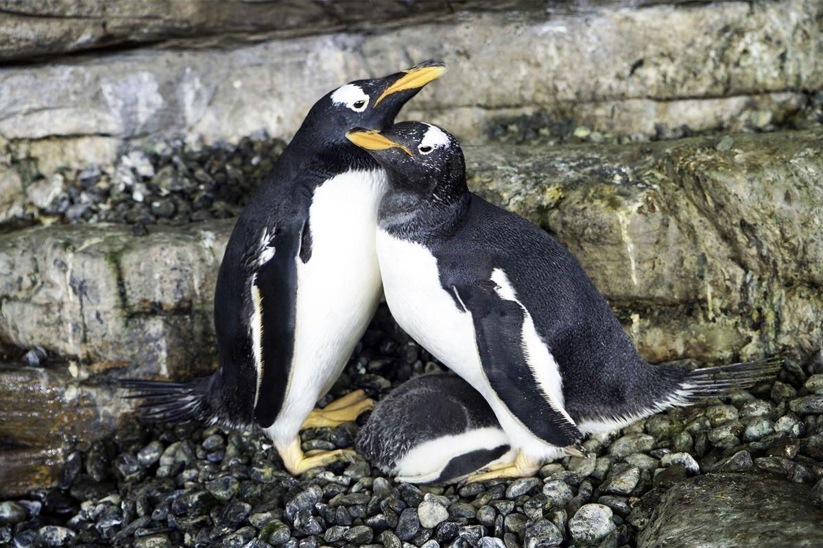 Same sex penguin 'super moms' start their own family