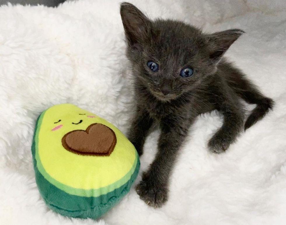 kitten, cat toy, avocado