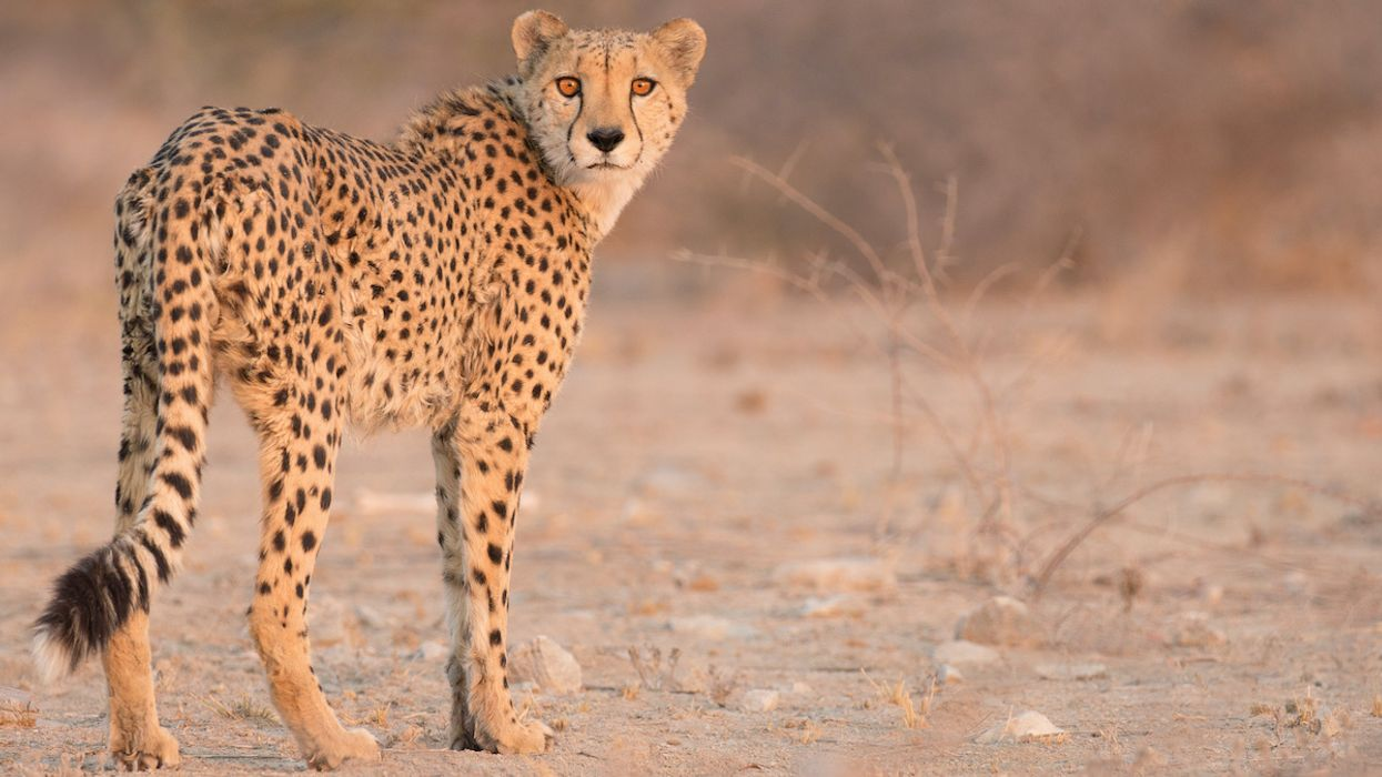 South Africa Is Increasing Its Wild Cheetah Population
