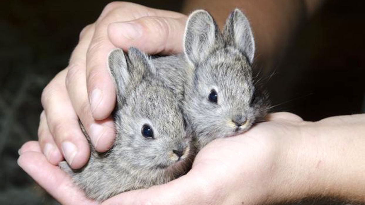 Fast-Moving Fires Killed Nearly Half of These Endangered Washington Rabbits