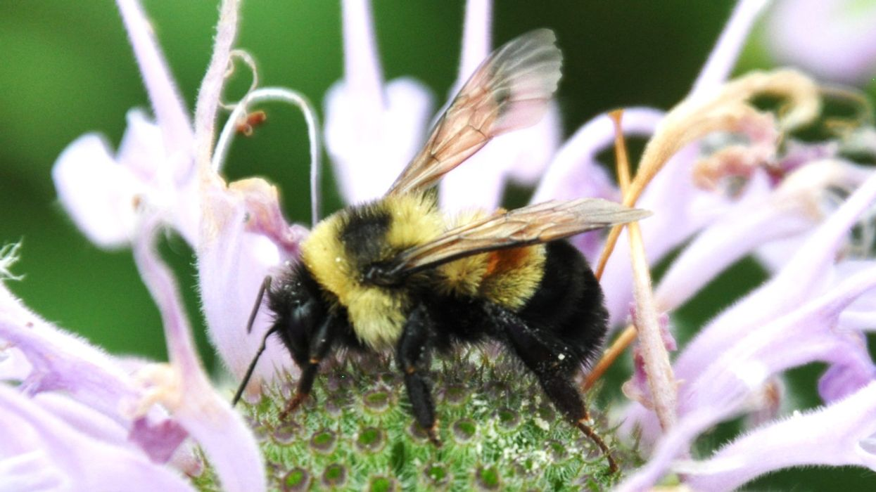 Bees Face 'a Perfect Storm' — Parasites, Air Pollution and Other Emerging Threats